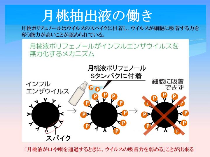月桃ポリフェノールはウイルスのスパイクに付着し、ウイルスが細胞に吸着する力を奪う能力が高いことが認められている。